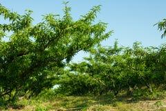 Δέντρα ροδακινιών Στοκ Φωτογραφίες