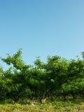 Δέντρα ροδακινιών Στοκ εικόνες με δικαίωμα ελεύθερης χρήσης