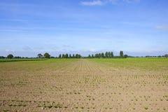 Δέντρα σακχαρότευτλων και λευκών Στοκ εικόνα με δικαίωμα ελεύθερης χρήσης