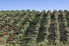 δέντρα σειρών ελιών Στοκ εικόνα με δικαίωμα ελεύθερης χρήσης