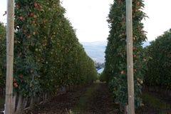 δέντρα σειρών μήλων Στοκ φωτογραφία με δικαίωμα ελεύθερης χρήσης