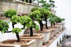δέντρα σειρών μπονσάι Στοκ Φωτογραφία