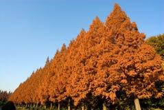 δέντρα σειρών metasequoia Στοκ φωτογραφία με δικαίωμα ελεύθερης χρήσης