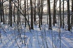 Δέντρα σε έναν χαμηλό ήλιο Στοκ Εικόνες