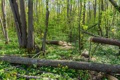 Δέντρα σε ένα δάσος που περιορίζει από τους κάστορες στοκ φωτογραφίες