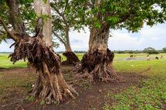 Δέντρα σε ένα λιβάδι με τις αγελάδες στη Σρι Λάνκα στοκ εικόνες