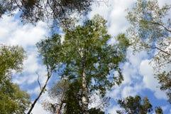 Δέντρα σημύδων μπροστά από έναν μπλε ουρανό με τα σύννεφα στοκ φωτογραφία