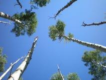 Δέντρα σημύδων που φθάνουν στον ουρανό Στοκ Εικόνα