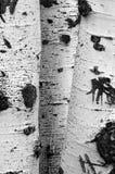 Δέντρα σημύδων πτώσης με τα φύλλα φθινοπώρου στο υπόβαθρο Στοκ Φωτογραφίες