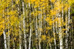 Δέντρα σημύδων το φθινόπωρο - σκόπιμα θολωμένα φύλλα στοκ εικόνες