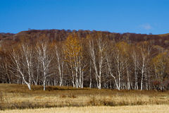δέντρα σημύδων στοκ εικόνα