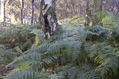 Δέντρα σημύδων που πνίγουν στη φτέρη Στοκ εικόνες με δικαίωμα ελεύθερης χρήσης