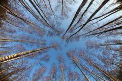 Δέντρα σημύδων που φωτογραφίζονται από κάτω από, πρώιμο ελατήριο Στοκ εικόνα με δικαίωμα ελεύθερης χρήσης