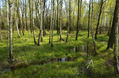 Δέντρα σημύδων στην επιφύλαξη φύσης Στοκ Φωτογραφία