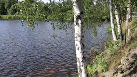 Δέντρα σημύδων στον αέρα στην τράπεζα της λίμνης φιλμ μικρού μήκους