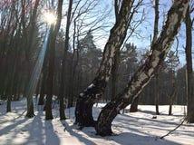 Δέντρα σημύδων στριμμένα στοκ εικόνες με δικαίωμα ελεύθερης χρήσης