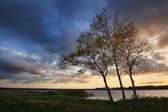 Δέντρα σημύδων το φθινόπωρο Στοκ Εικόνα