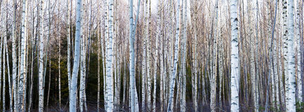 Δέντρα σημύδων Στοκ Φωτογραφία