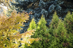 Δέντρα Σιβηρία χρώματος Στοκ Φωτογραφίες