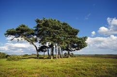 Δέντρα σκωτσέζικων πεύκων Στοκ Εικόνες