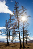 Δέντρα στη Μογγολία Στοκ εικόνα με δικαίωμα ελεύθερης χρήσης