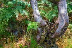 Δέντρα στο δάσος δαφνών στοκ εικόνα