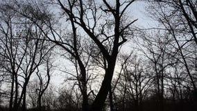 Δέντρα στο δάσος, που κινείται επάνω στον ουρανό απόθεμα βίντεο