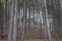 Δέντρα στο βουνό Rila κοντά σε Bachinovo στο Μπλαγκόεβγκραντ στοκ εικόνες
