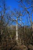 Δέντρα στο εθνικό πάρκο Ankarana, αγριότητα της Μαδαγασκάρης Στοκ Φωτογραφία