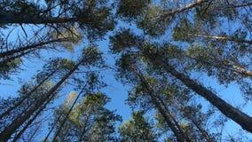 Δέντρα στο χειμερινό δάσος στην ανατολή απόθεμα βίντεο