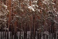 Δέντρα στο χειμερινό δάσος σε ένα κρύο Στοκ Φωτογραφία