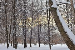 Δέντρα στο χιόνι στο χειμερινό δάσος στο ηλιοβασίλεμα στοκ φωτογραφίες με δικαίωμα ελεύθερης χρήσης