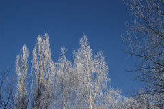 Δέντρα στο hoarfrost Στοκ Φωτογραφία