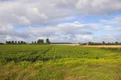 Δέντρα συγκομιδών και λευκών σακχαρότευτλων Στοκ φωτογραφία με δικαίωμα ελεύθερης χρήσης