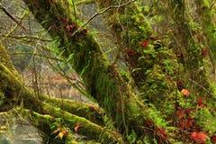 Δέντρα σφενδάμνου δασών και αμπέλων Pacific Northwest στοκ εικόνες