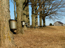 δέντρα σφενδάμνου κάδων Στοκ Εικόνες