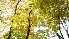 Δέντρα σφενδάμνου με το κίτρινο φύλλωμα απόθεμα βίντεο