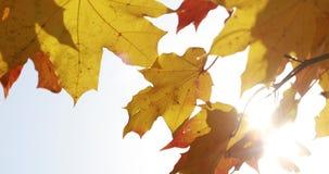 Δέντρα σφενδάμνου Δέντρα φθινοπώρου σφενδάμνου 9 autumn colors Κίτρινα και κόκκινα δέντρα φθινοπώρου Καταπληκτικό φθινόπωρο φιλμ μικρού μήκους