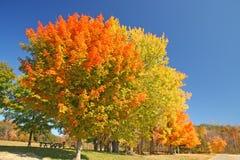 Δέντρα σφενδάμνου ζάχαρης το φθινόπωρο Στοκ Φωτογραφία