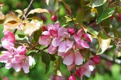 Δέντρα της Apple, δέντρο, άνοιξη, λουλούδι, λουλούδια, δέντρο Στοκ εικόνα με δικαίωμα ελεύθερης χρήσης