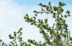 Δέντρα της Apple, δέντρο, άνοιξη, λουλούδι, λουλούδια, δέντρο Στοκ φωτογραφία με δικαίωμα ελεύθερης χρήσης