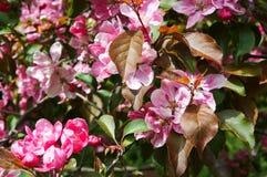 Δέντρα της Apple, δέντρο, άνοιξη, λουλούδι, λουλούδια, δέντρο Στοκ Φωτογραφία