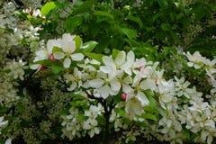 Δέντρα της Apple καβουριών που ανθίζουν την ημέρα ανοίξεων Στοκ εικόνες με δικαίωμα ελεύθερης χρήσης