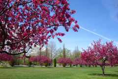 Δέντρα της Apple καβουριών που ανθίζουν την ημέρα ανοίξεων Στοκ Εικόνα