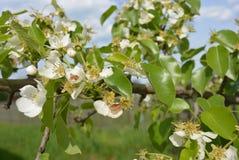Δέντρα της Apple με τα ανθίζοντας λουλούδια και στενά φύλλα με να συρθεί το μυρμήγκι σε τους Στοκ φωτογραφίες με δικαίωμα ελεύθερης χρήσης