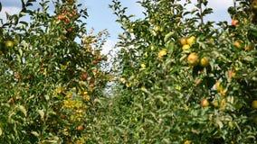 Δέντρα της Apple με τα κίτρινα μήλα στον οπωρώνα Στοκ φωτογραφίες με δικαίωμα ελεύθερης χρήσης