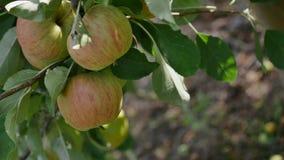 Δέντρα της Apple με τα κίτρινα μήλα στον οπωρώνα Στοκ εικόνες με δικαίωμα ελεύθερης χρήσης