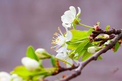 Δέντρα της Apple με τα λουλούδια και τους οφθαλμούς Στοκ Φωτογραφίες
