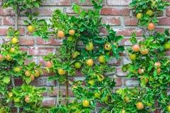 Δέντρα της Apple με τα ωριμασμένα μήλα σε έναν οπωρώνα Στοκ φωτογραφία με δικαίωμα ελεύθερης χρήσης