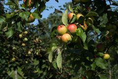 Δέντρα της Apple με τα ώριμα μήλα για να συγκομίσει το χρόνο Στοκ Φωτογραφία